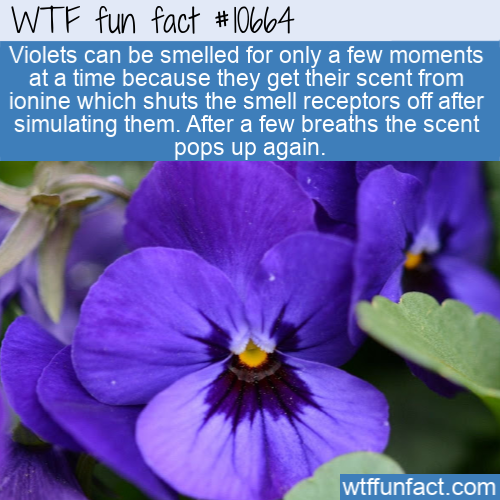 WTF Fun Fact - Violets Can Block Your Smell