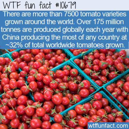 WTF Fun Fact - 7500 tomatoes