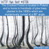 WTF Fun Fact – Crooked Forest