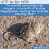 WTF Fun Fact – Dark Kangaroo Mouse