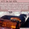WTF Fun Fact – Confused Giant Jewel Beetles