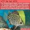 WTF Fun Fact – Scatophagus argus