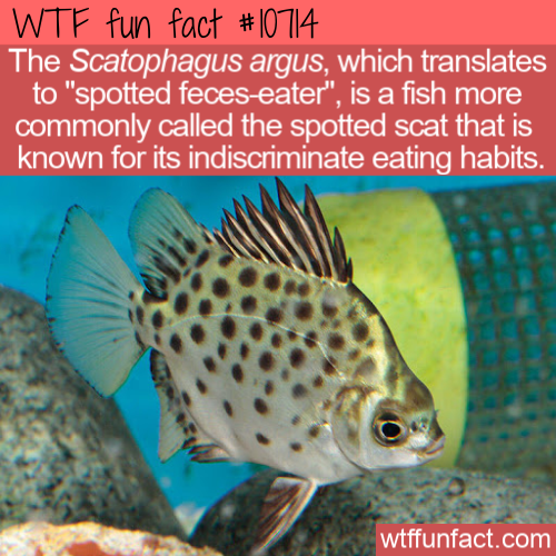 WTF Fun Fact - Scatophagus argus