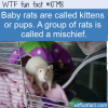 WTF Fun Fact – Odd Rat Names