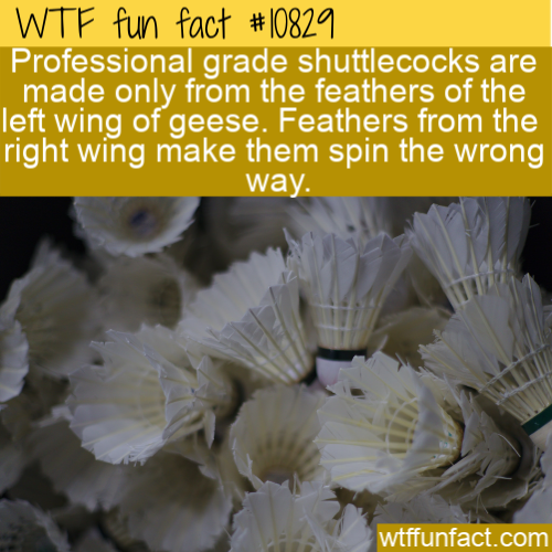 WTF Fun Fact - Left Goose Wing Feather