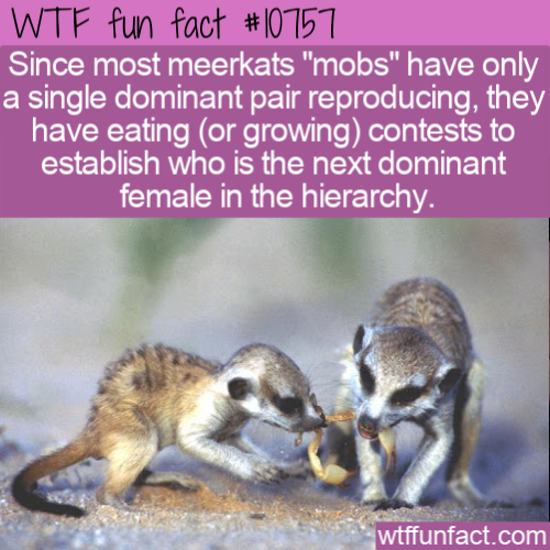 WTF Fun Fact - Meerkat Eating Contest