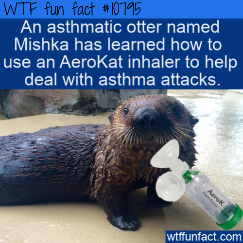 WTF Fun Fact - Otter Learns To Use Inhaler