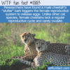 WTF Fun Fact – Cheetah's Bark Causes Ovulation