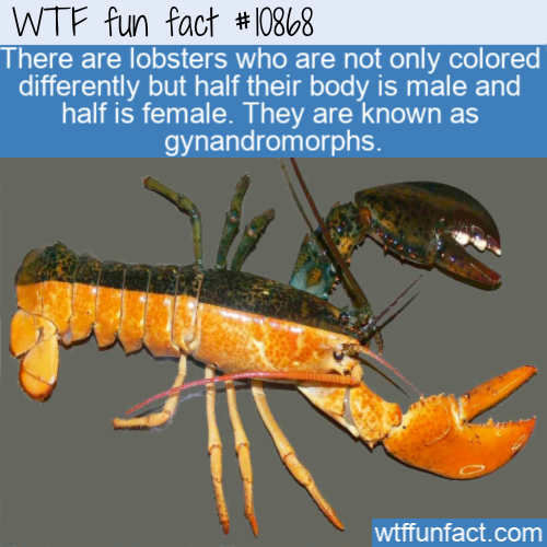 WTF Fun Fact - Multi Colored Lobsters