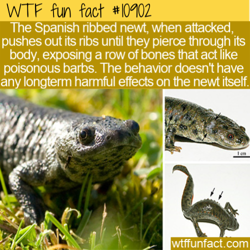 WTF Fun Fact - Spanish Ribbed Newt