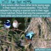 WTF Fun Fact – Fairy-Wren Secret Tune