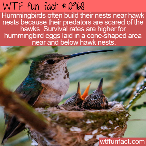 WTF Fun Fact - Hummingbirds And Hawks