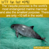 WTF Fun Fact – Vaquita Porpoise