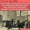 WTF Fun Fact – NYC Cow Tunnels