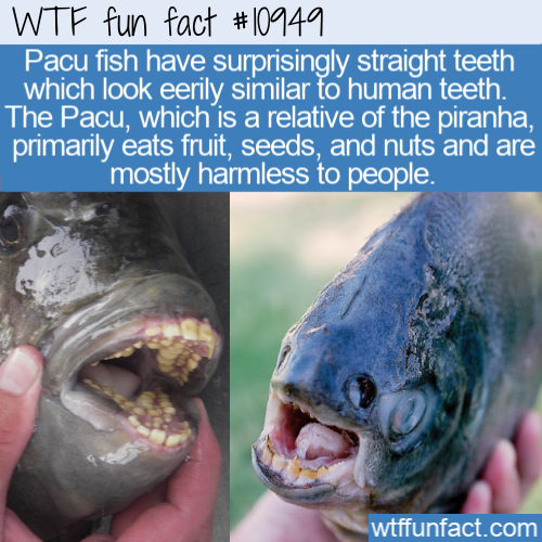 WTF Fun Fact - Pacu Has Human Teeth