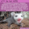 WTF Fun Fact – USA's Only Marsupial