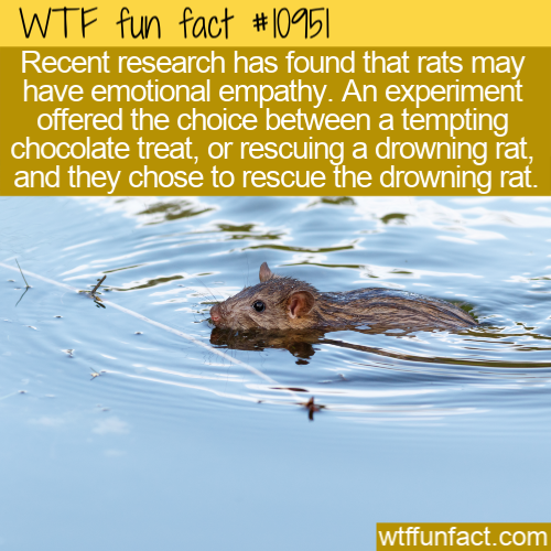 WTF Fun Fact - Rats Show Empathy