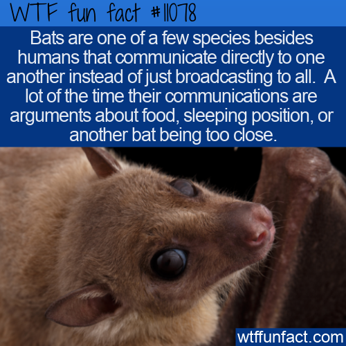 WTF Fun Fact - Bats Communicate Directly