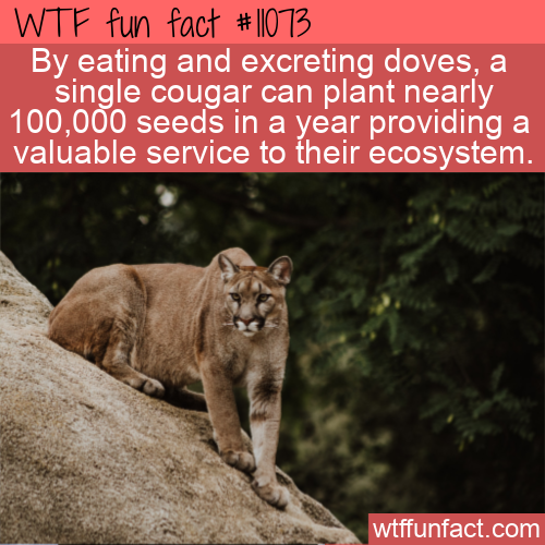 WTF Fun Fact - Cougars Planting Seeds
