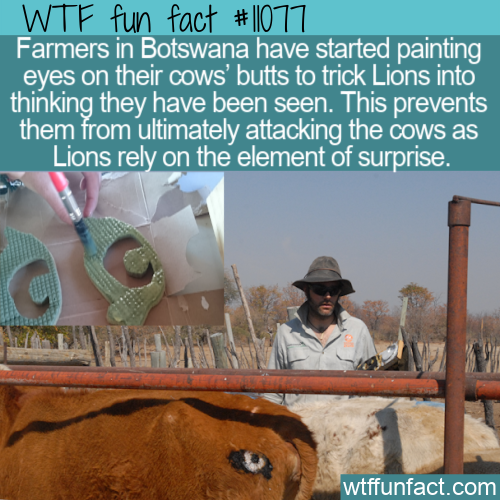 WTF Fun Fact - Eyes On Cow Behinds