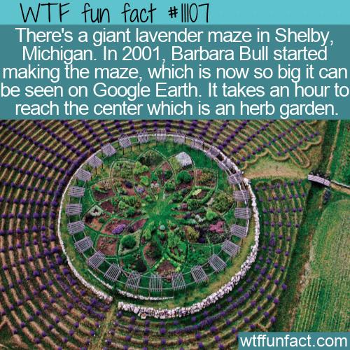 WTF Fun Fact - Giant Lavender Maze
