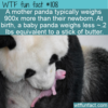 WTF Fun Fact – Tiny Baby Pandas