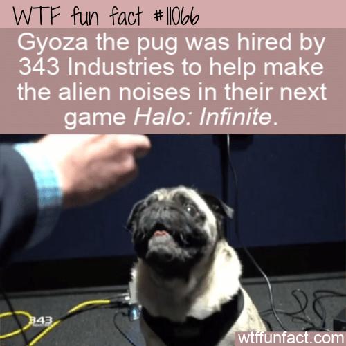 WTF Fun Fact - Gyoza The Pug