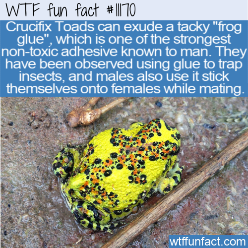 WTF Fun Fact - Frog Glue