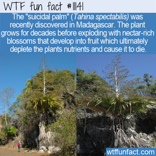 WTF Fun Fact - Suicidal Palm Tree