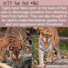 WTF Fun Fact – Tigers' False Eyes