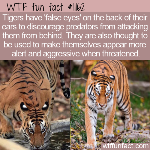 WTF Fun Fact - Tigers False Eyes