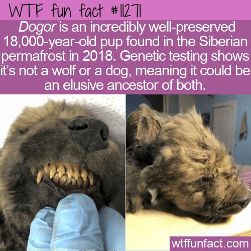 WTF Fun Fact - 18,000-year-old Dogor
