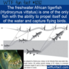 WTF Fun Fact – African Tigerfish Captures Flying Birds