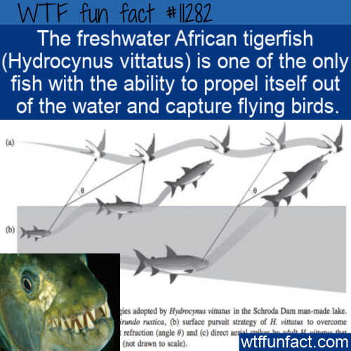 WTF Fun Fact - African Tigerfish Captures Flying Birds