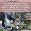 WTF Fun Fact – Giant Anteater's Toes