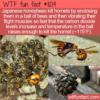 WTF Fun Fact – Japanese Honeybees VS Hornets