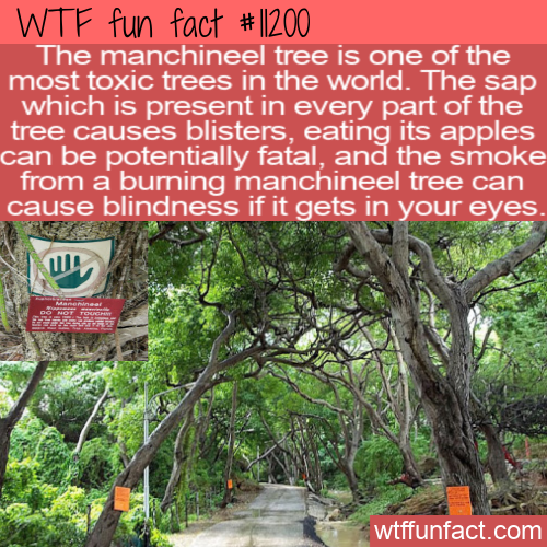 WTF Fun Fact - Little Apple Of Death Tree