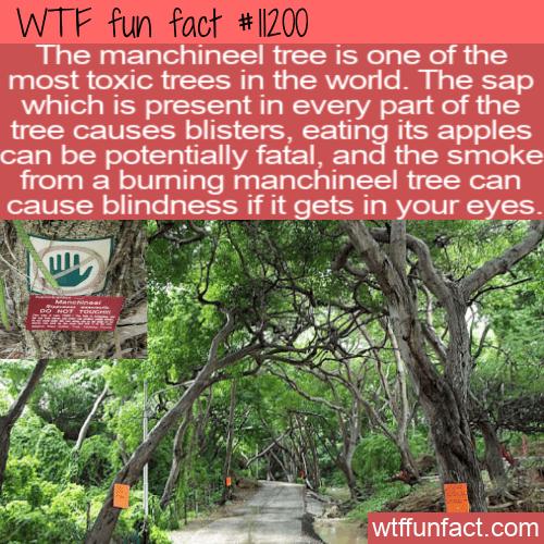 WTF Fun Fact - Little Apple Of Death Tree