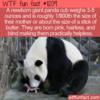 WTF Fun Fact – Newborn Baby Panda