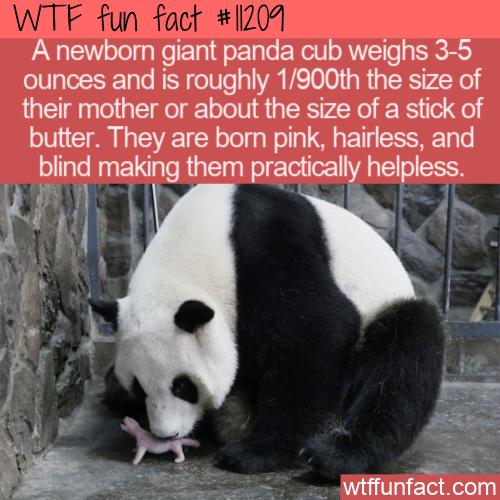 WTF Fun Fact - Newborn Baby Panda