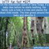 WTF Fun Fact – Tana Toraja's Dead Baby Trees
