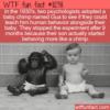 WTF Fun Fact – Teach A Baby Chimp