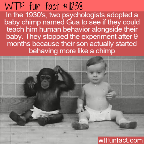 WTF Fun Fact - Teach A Baby Chimp