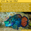 WTF Fun Fact – Mandarinfish Can Produce Blue Pigments