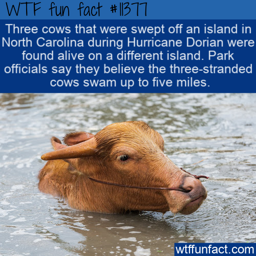 WTF Fun Fact - Stranded Cows