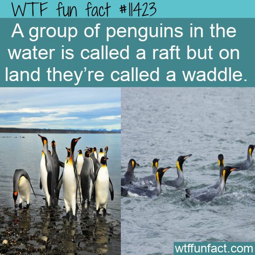 WTF Fun Fact - A Group Of Penguins