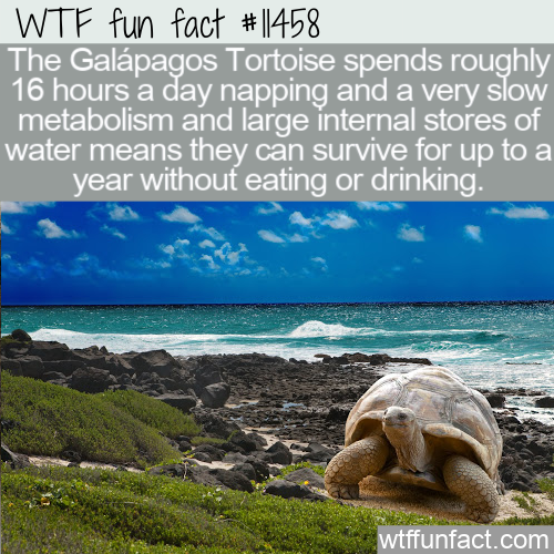 WTF Fun Fact - Galapagos Tortoise Feeding Schedule