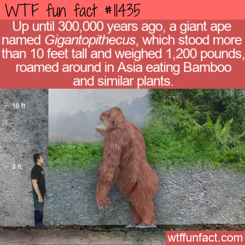 WTF Fun Fact - Gigantopithecus