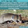 WTF Fun Fact – African Giant Pouched Rats