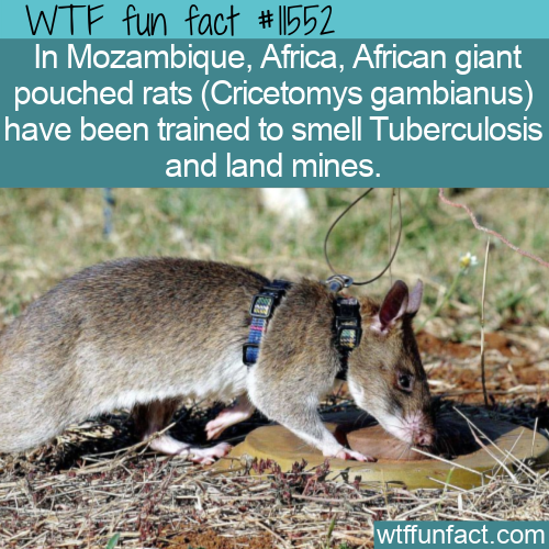 WTF Fun Fact - African Giant Pouched Rats